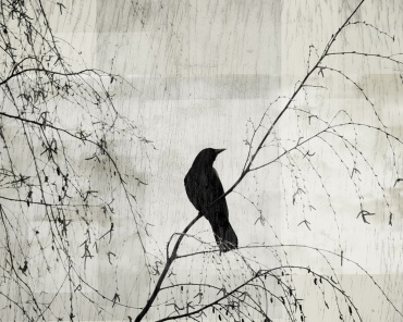 Crow in the Willow: Solitary crow perched in a willow tree. Image copyright Suzanne Goodwin.